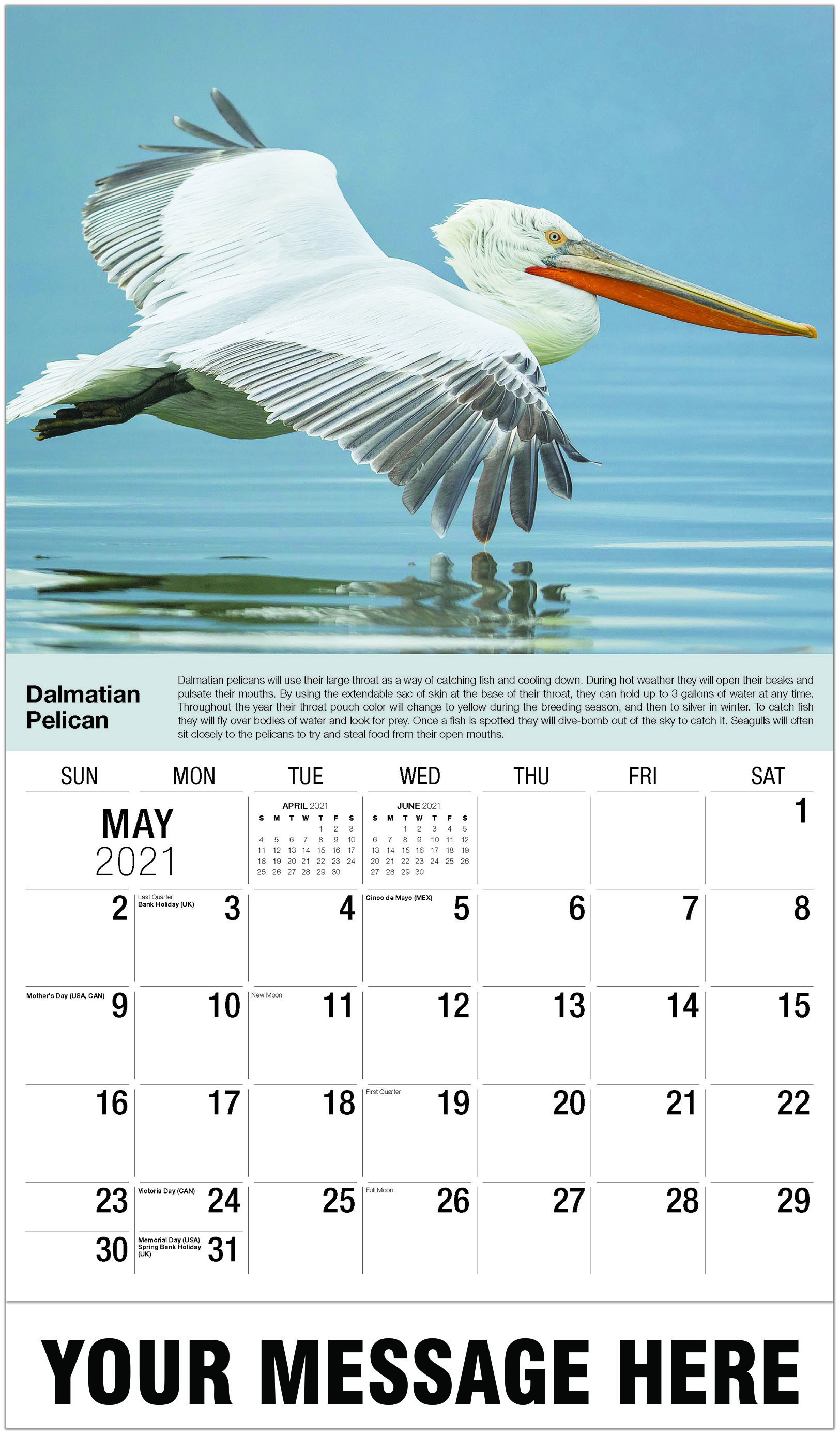 Dalmatian Pelican - May - International Wildlife 2021 Promotional Calendar