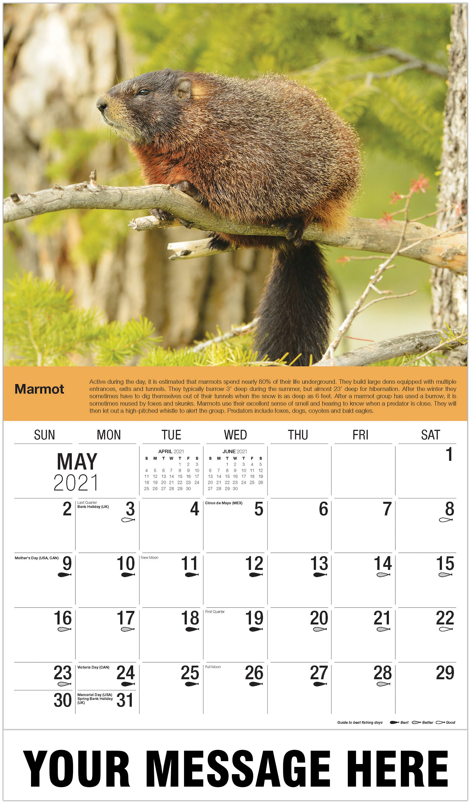 Marmot - May - North American Wildlife 2021 Promotional Calendar
