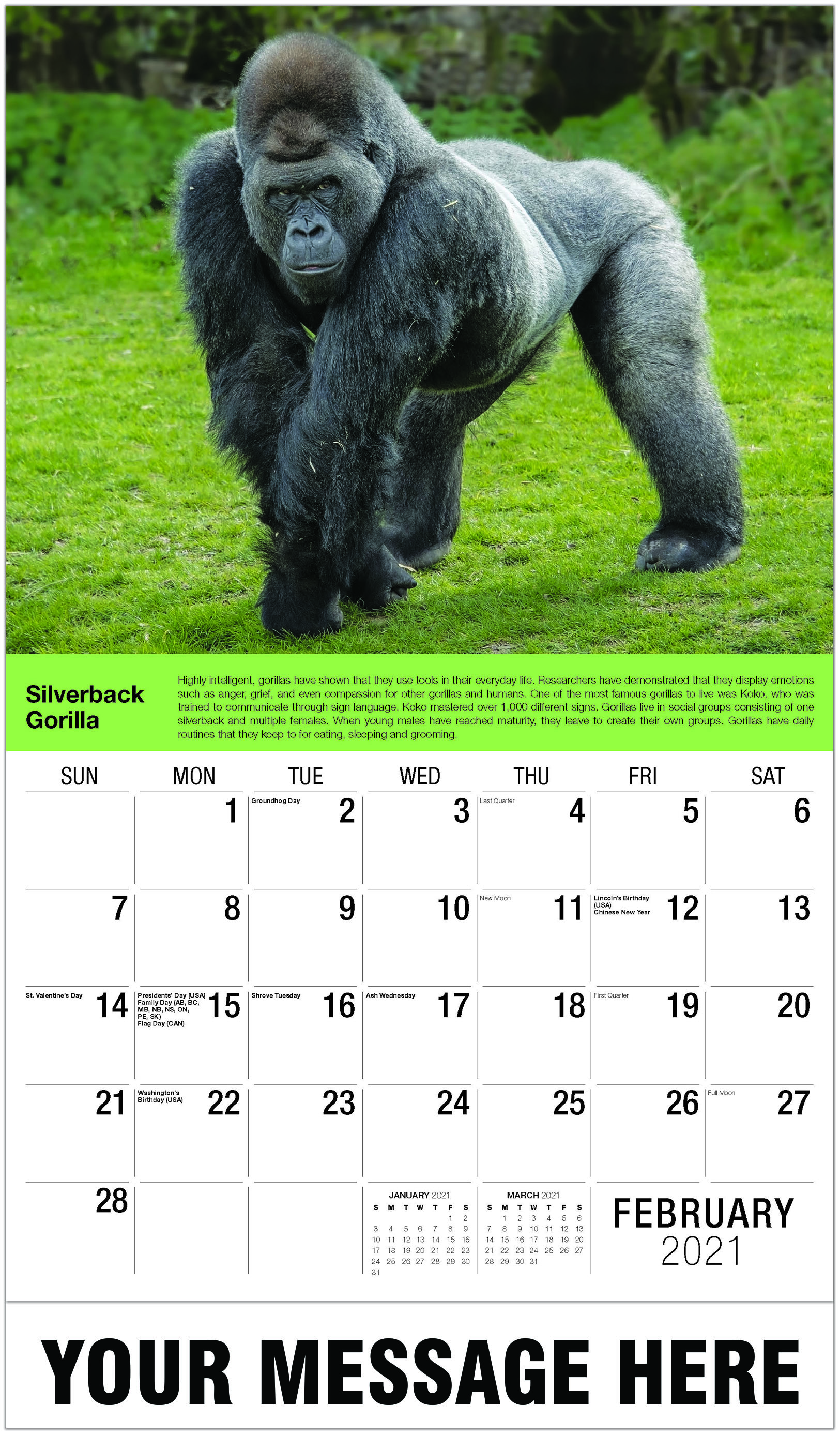 Silverback Gorilla - February - International Wildlife 2021 Promotional Calendar