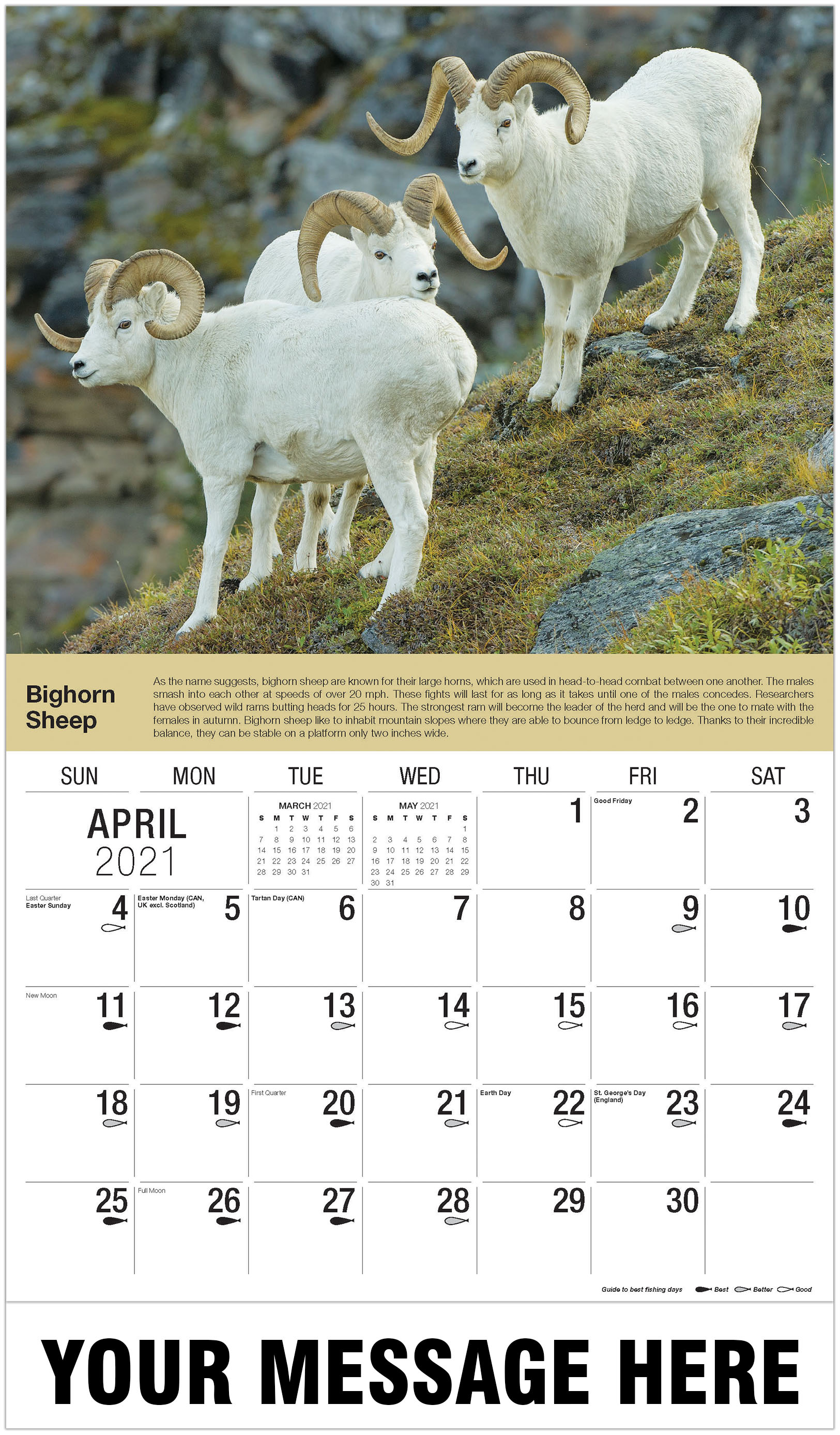 Dall Sheep Rams - April - North American Wildlife 2021 Promotional Calendar