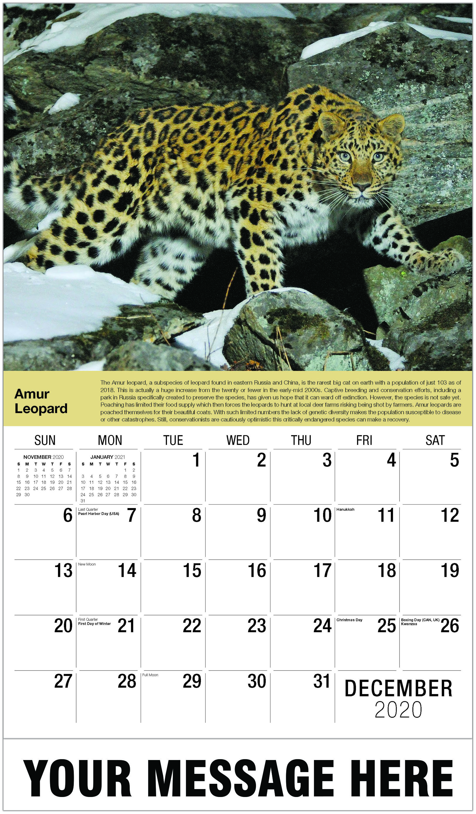 Amur Leopard - December 2020 - International Wildlife 2021 Promotional Calendar