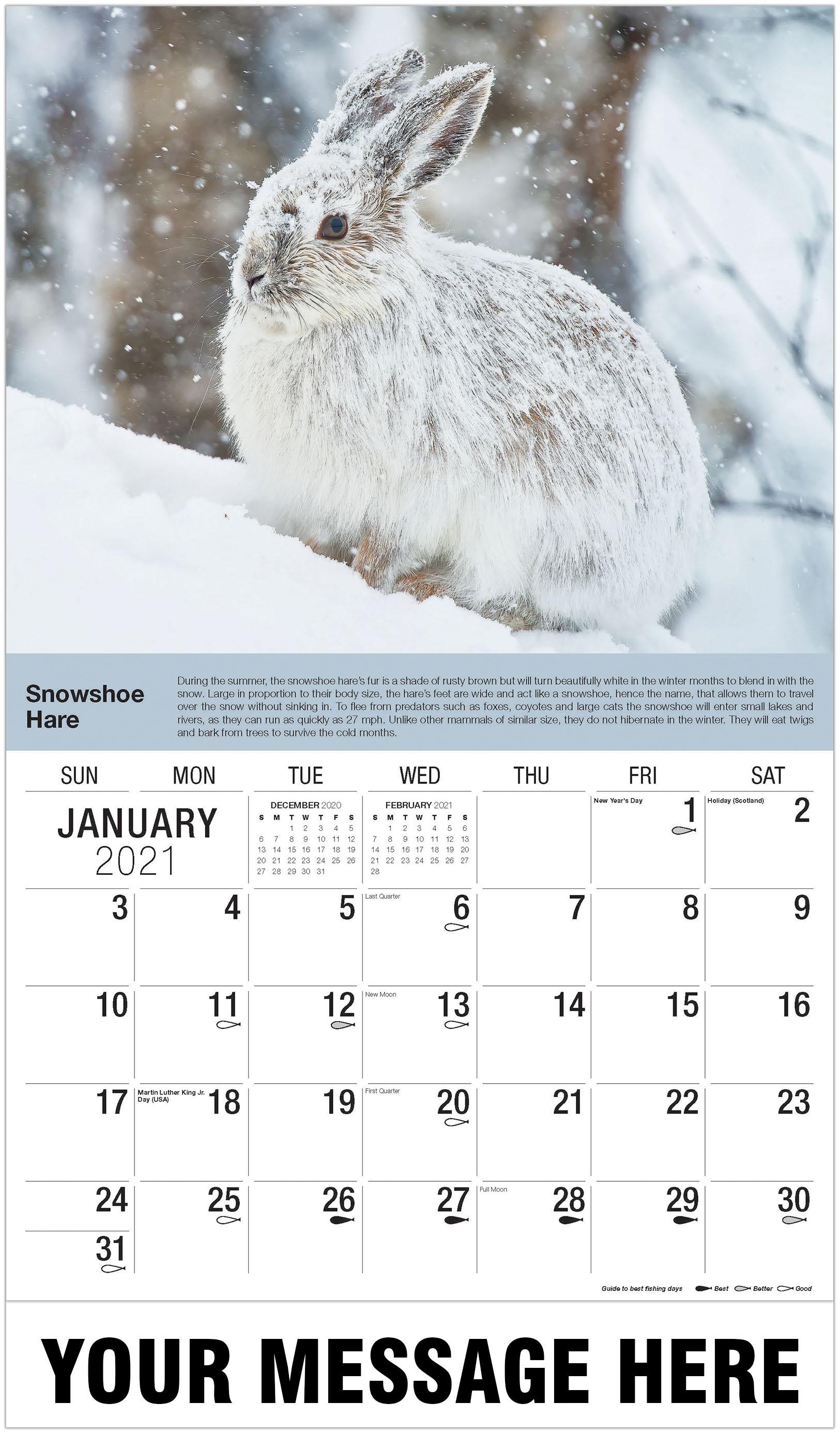 Snowshoe Hare - January - North American Wildlife 2021 Promotional Calendar