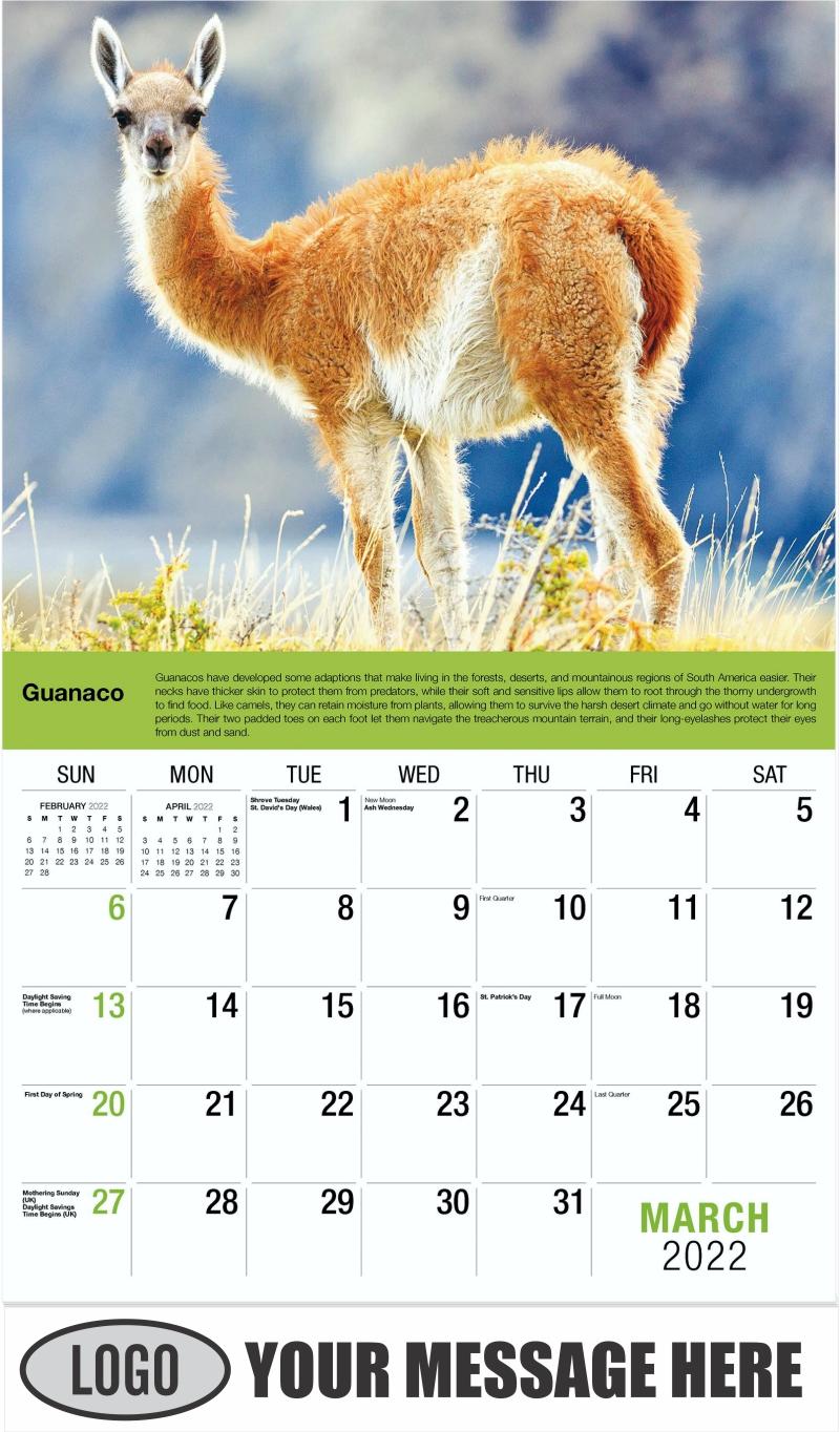 Guanaco - March - International Wildlife 2022 Promotional Calendar