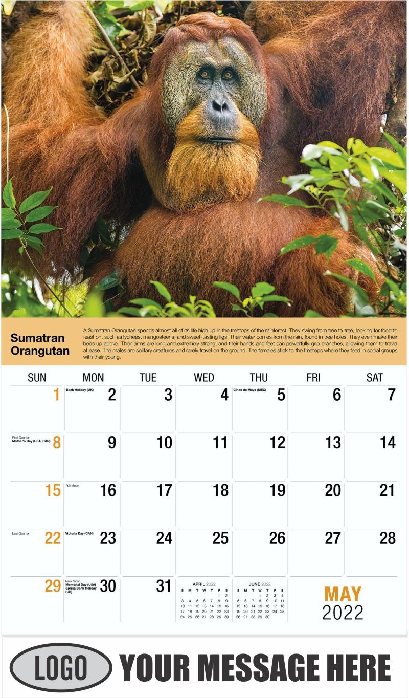 Sumatran Orangutan - May - International Wildlife 2022 Promotional Calendar