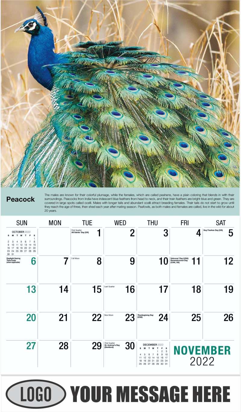 Peacock - November - International Wildlife 2022 Promotional Calendar