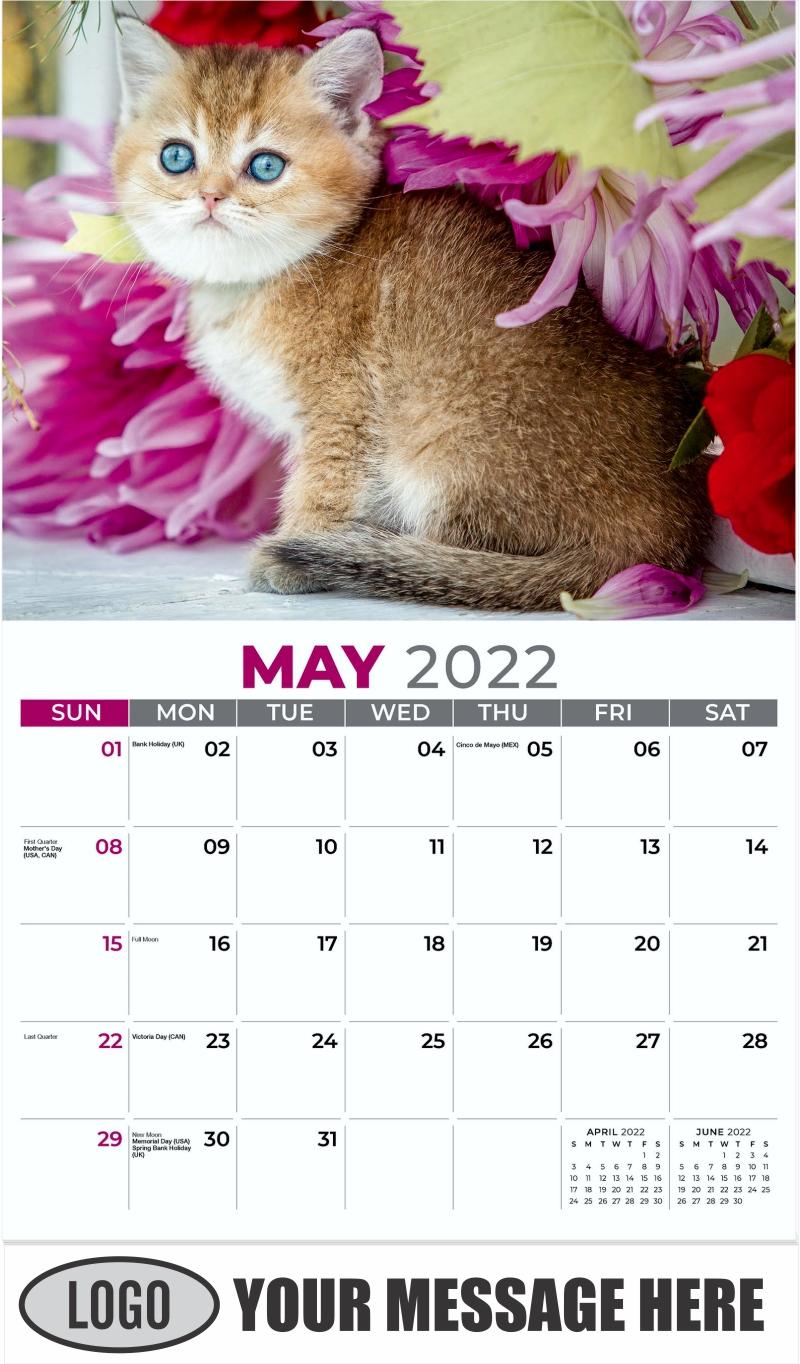 Scottish Straight - May - Kittens 2022 Promotional Calendar